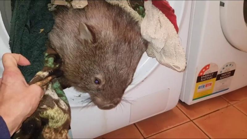 Wombat Hazel takes a
