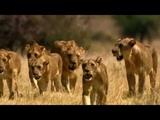 Lion Kingdom -