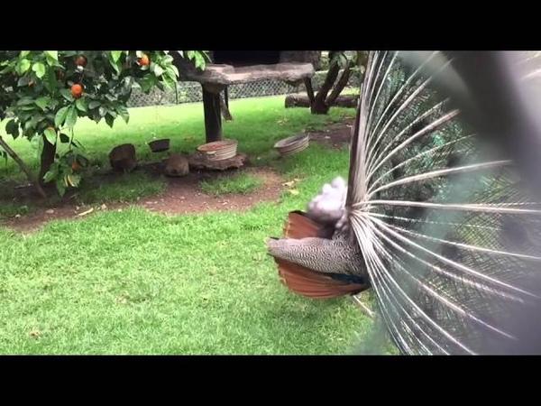 Pavorreal abre su plumaje para atraer pareja (Slow cam)