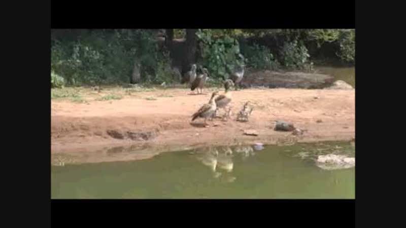 Детеныш нильского крокодила пытается поймать молодого орла-сапожника
