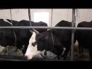 Автоматическое доение коров Коровы дают по 30 40 литров молока