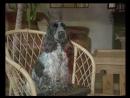 Д/С Энциклопедия собак: Английский кокер спаниель (1999г)