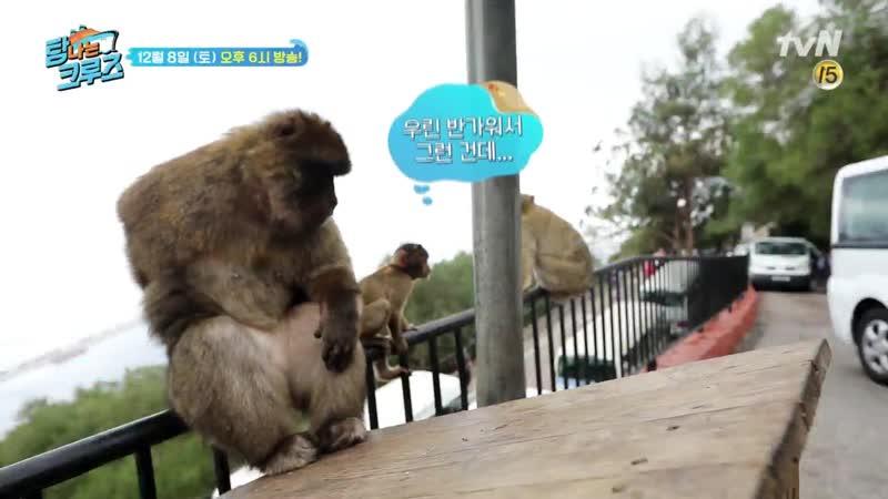 [예고] 지브롤터 원숭이들의 다소 격한() 환영식!