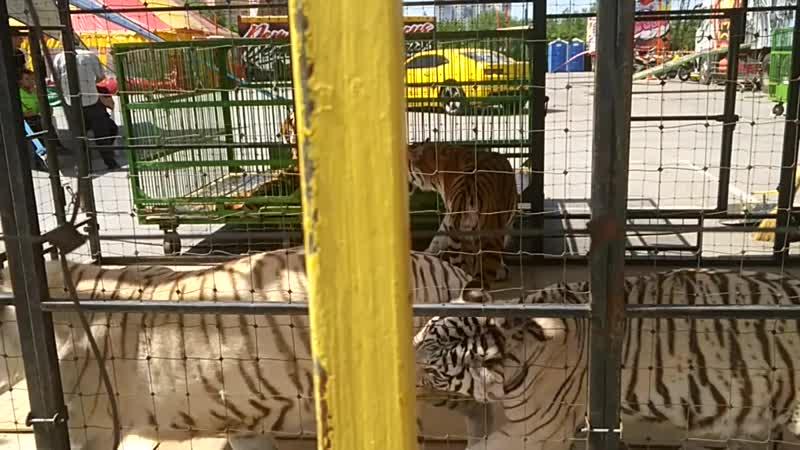 белые тигры играются цирк Рязань demidov премьер