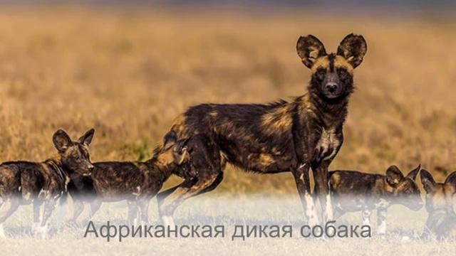 Самые древние и дикие собаки которые живут в природе и не признают человека