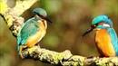 Обыкновенный зимородок и интересные факты о нем