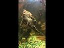 Черепаха оседлала рыбу