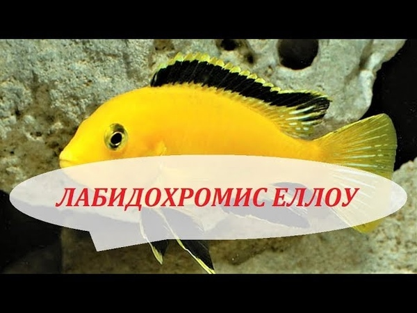 Лабидохромис Еллоу разведение, нерест, содержание, цихлиды Малави в аквариуме.