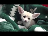Baby Fennec Foxes Love to Dig