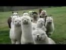 Ламы атакуют.свиной грипп уже атаковал,овечий на подходе.бойтесь!