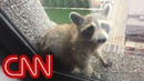 Raccoon climbs 25 story building goes viral
