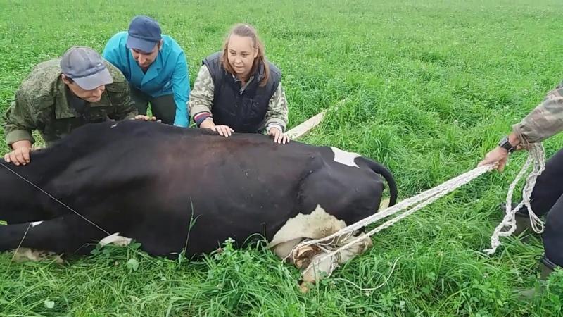 Заворот матки у коровы и исправление его методом Шифера