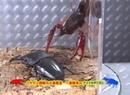 Palawan Stag Beetle VS Red Swamp Crayfish