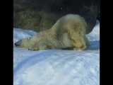 Белый медведь встречает весну