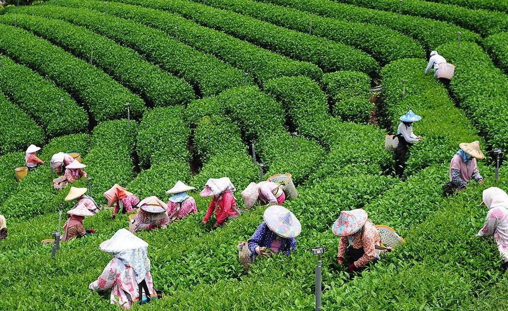 Какие существуют виды зеленого чая?