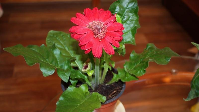 SOS Комнатные цветы из магазина погибают Как спасти герберу