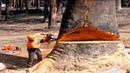 Удивительный навык вырезания больших деревьев цепной пилой