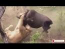 Смертельные бои диких животных для выживания. 720 X 1280 _00.mp4
