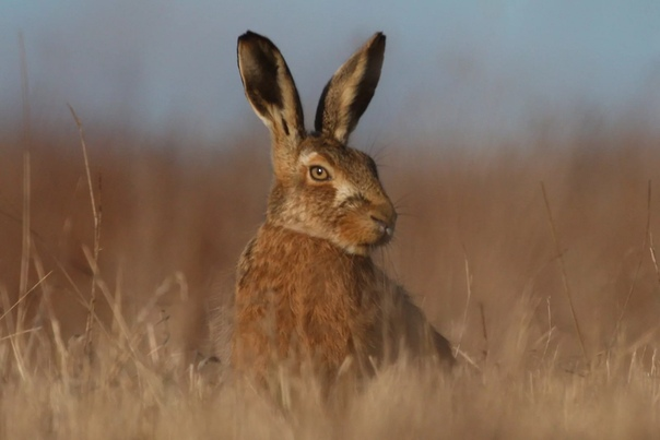 Разница между зайцем и кроликом Задумывались ли вы когда-нибудь, чем заяц отличается от кролика. Зачем Ведь и так все ясно. Заяц это дикое животное, а одомашненный заяц кролик. На самом деле,