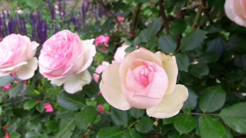 Мой сад в июне 2018.Часть 2. My garden tour in June 2018. Part 2.