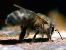 Бурзянская пчела, или Королева леса.