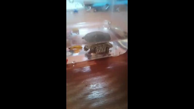 хочу показать черепашку