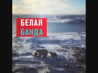 Нашествие белых медведей в России