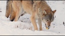 Wolves eat apples in winter. Gray wolf, Canis lupus.