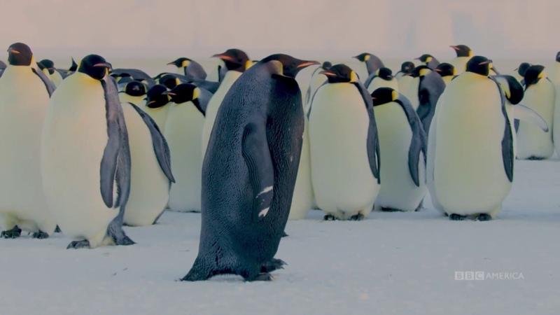 The Rarest Penguin On Earth |