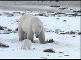 polar bear unwillingly shares breakfast
