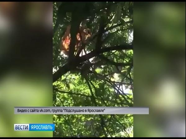 В Ярославле крыса поселилась на дереве