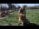 Львы из прайда Олежки совсем выросли и хотят общаться .Тайган. Крым