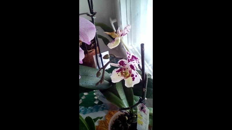 мои орхидеи май 2018
