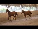 Тракенеские жеребята Плей Бой и Парабеллум