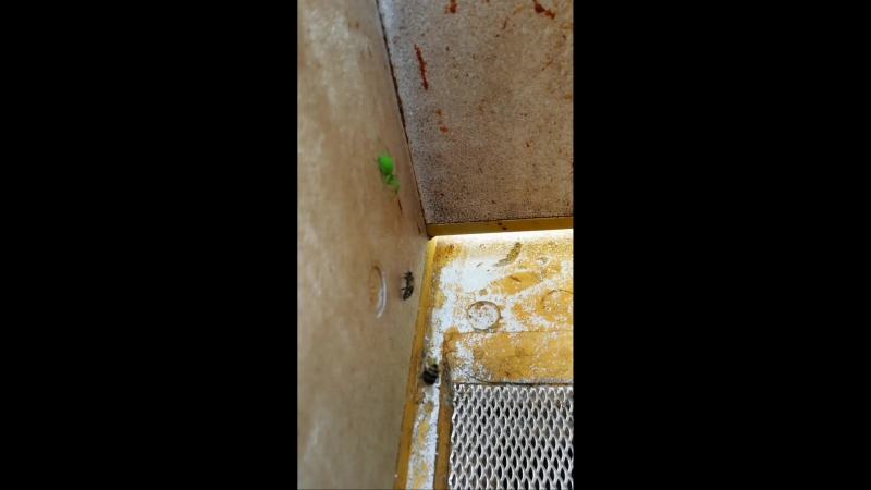 Зеленый паук охотится на пчел