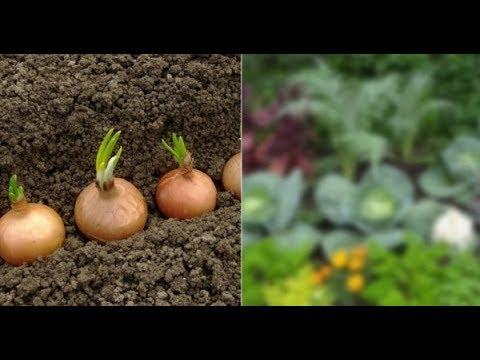 Эти овощи жить друг без друга не могут только рядом Вот что принесет такое соседство