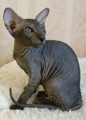 Котёнк чёрная девочка Дауника