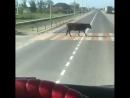 Кизлярские коровы - Веселые Кавказцы
