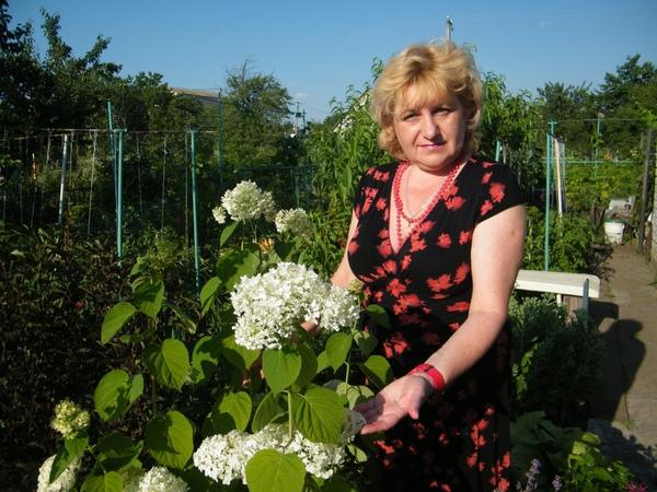 ГОРТЕНЗИЯ ДРЕВОВИДНАЯ выращивание уход посадка размножение цветение
