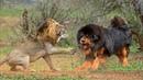 Epic Battle Dog vs Lion, Tiger, Bear, Leopard Real Fight To Death