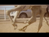 The Camels of Arabia
