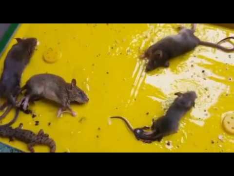 Trampa para ratas ratones efectivo Perú