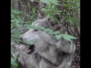 RT @nywolforg Mexican gray wolf Diego Elusive Endangered Extremely soulful  mp4