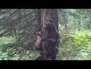 Нашествие медведей