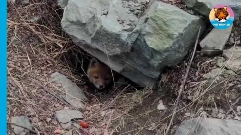 Рыжие лисицы в Приморье