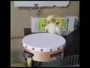 Heavy Metal Parrot Drummer