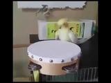 Heavy Metal Parrot Drummer!!!