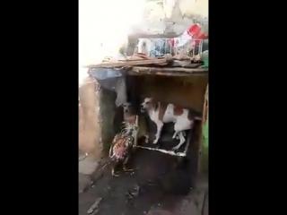 Дерзкий петух гоняет собак.