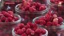 Проверка лесных ягод из Могилевского района БЕЛАРУСЬ 4 Могилев