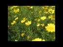 Среди Красоты Хризантемы Хризантемы Chrysanthemum coronarium Кирьят Ям Israel